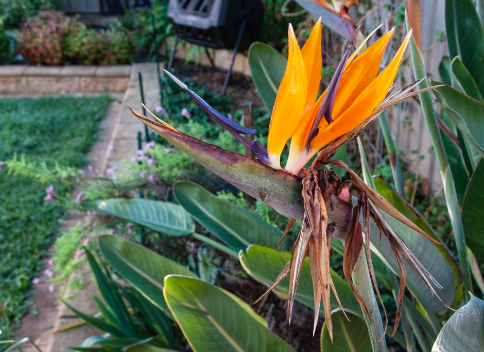 A bird of paradise flower with a strawberry patch in the background.
