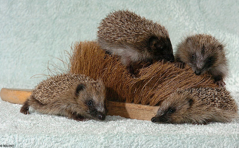 To Do Tomorrow: Investigate if hedgehogs are allowed as pets.