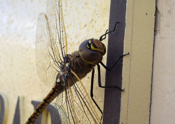 A dragonfly allows me to play with my camera's macro mode.